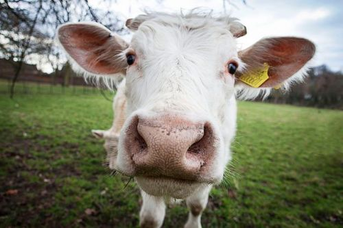 cow-animal-review-flickr-chris-marchant-0