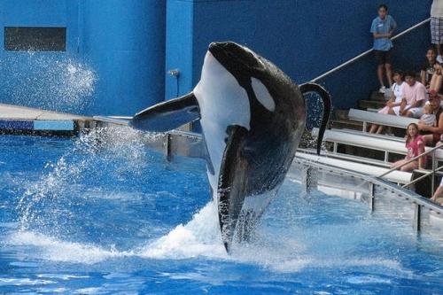 seaworld-killer-whale