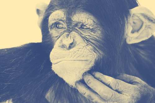 27-thinking-chimpanzee-w536-h357-2x