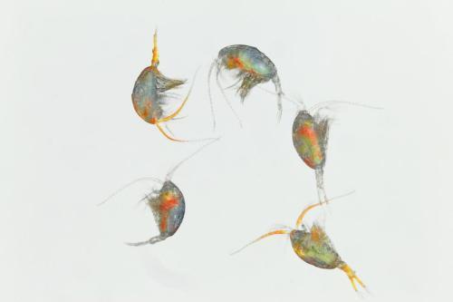 drunk-plankton-adapt-1190-1