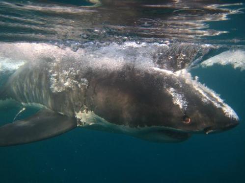 great-white-shark-tours
